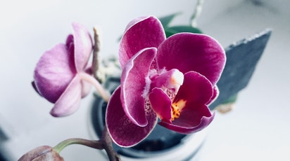 Orhideea de apartament: sfaturi de îngrijire