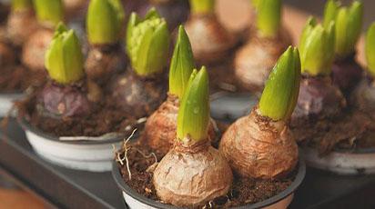 Păstrarea corectă a bulbilor de dalie, begonie și gladiolă pe timp de iarnă