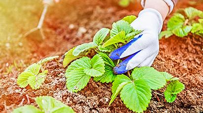 Plantarea căpșunilor în sezonul de toamnă