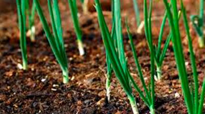 Tehnici de cultivare a cepei