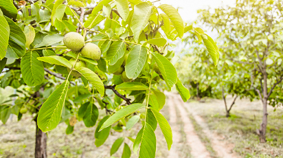 Plantarea nucului: recomandări pentru semănare și îngrijire