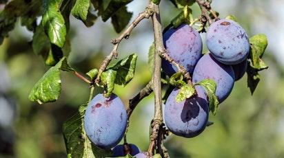 Plantarea prunului: Ce trebuie să faci pentru a avea fructe delicioase