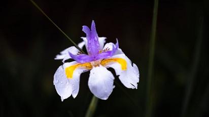 Plantarea și creșterea irisului în grădină: sfaturi pentru începători