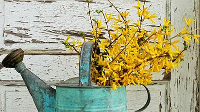 Ghid de primăvară: plantarea și îngrijirea florii de Forsythia