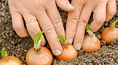 Sfaturi utile pentru plantarea și replantarea cepei în grădină