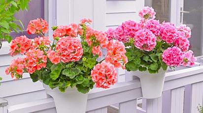 Plante curgătoare care dau culoare balconului tău