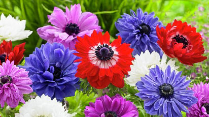 Plantează anemone primăvara ca un profesionist