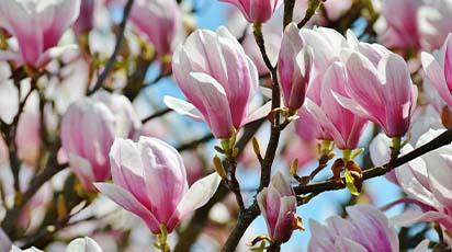 Plantează magnolia în noiembrie pentru succes garantat