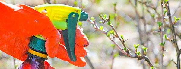 Prelucrarea grădinii primăvara: fără boli și dăunători
