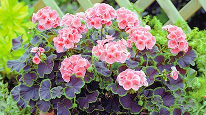 Semințe de flori ușor de cultivat în interior