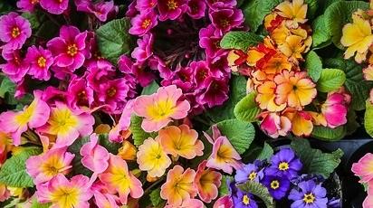 Sfaturi practice despre înmulțirea și plantarea primulei în grădină