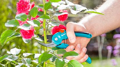Tăierea corectă a trandafirilor