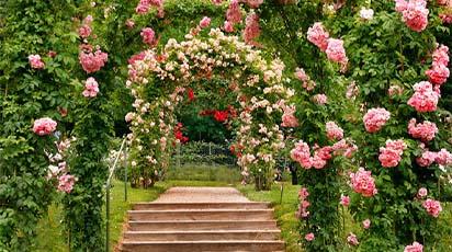 Tăierile trandafirilor urcători în luna decembrie – perioada cea potrivită pentru îngrijirea trandafirilor