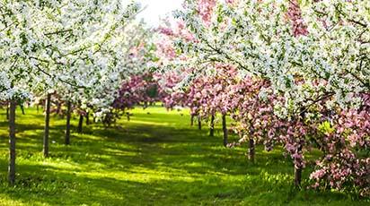 Temperaturile de toamnă cele mai recomandate pentru tunderea pomilor fructiferi