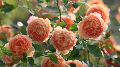 Cele mai populare tipuri de trandafiri teahibrizi: sfaturi pentru plantare