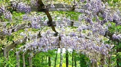 Top 5 plante perene cățărătoare pentru o grădină de vis
