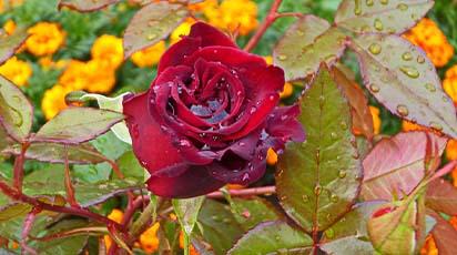 Trandafir uscat la venirea toamnei: cauze și soluții