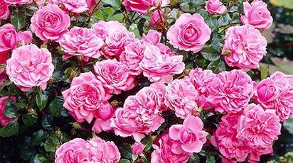 Sortiment nou! Trandafirii Floribunda disponibili în magazinul GrădinaMax!
