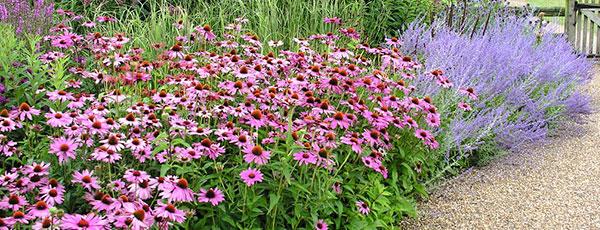 Cultivă echinacea, planta care îți întărește imunitatea