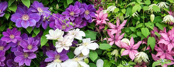 Cum crești clematita în grădină și în ghiveci