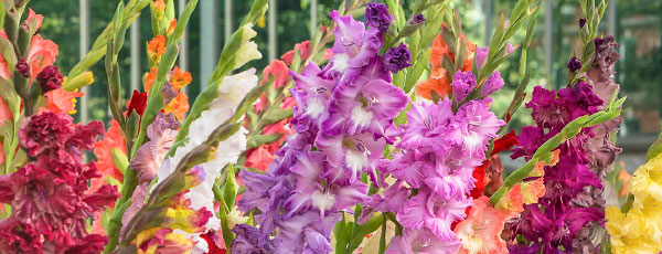 Cum să plantezi, îngrijești și înmultești gladiolele