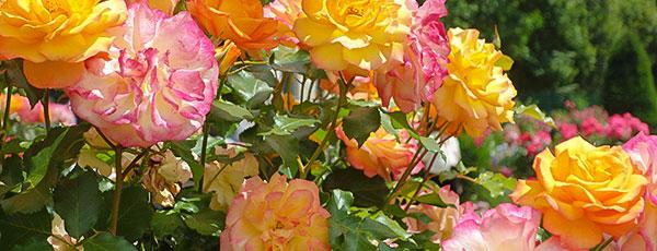 Plantarea și îngrijirea trandafirilor