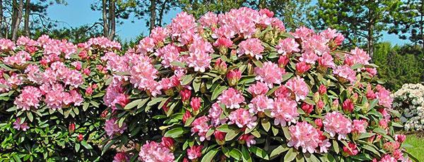 Secrete și sfaturi pentru cultivarea rhododendronului în grădină
