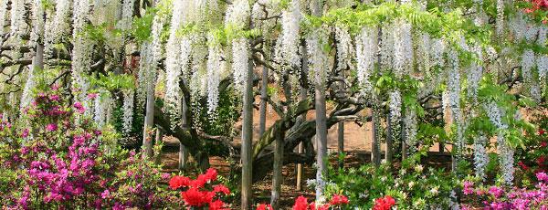 Sfaturi practice pentru plantarea glicinei în grădină