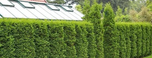 Sfaturi practice pentru plantarea și îngrijirea coniferelor