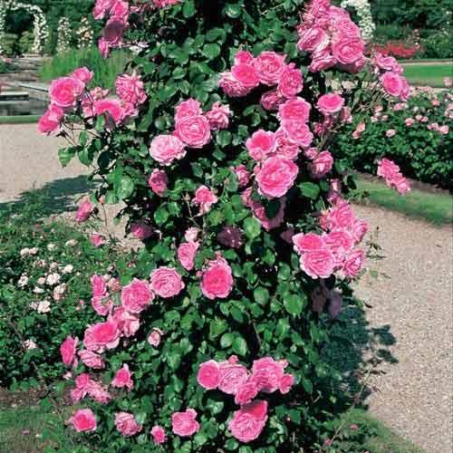 Trandafir urcător Pink Cloud
