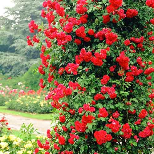 Trandafir urcător Paul's Scarlet imagine 1 articol 2176