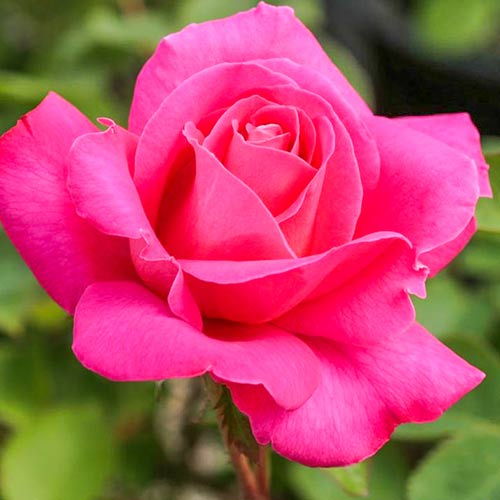Trandafir teahibrid Pink