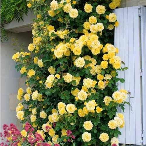 Trandafir urcător Golden Showers imagine 1 articol 2157