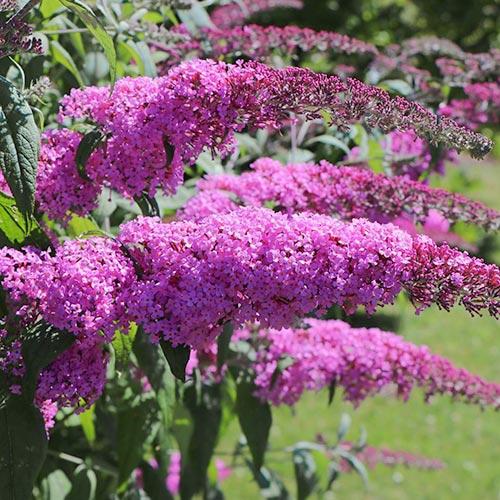 Liliac de vară Purple Prince
