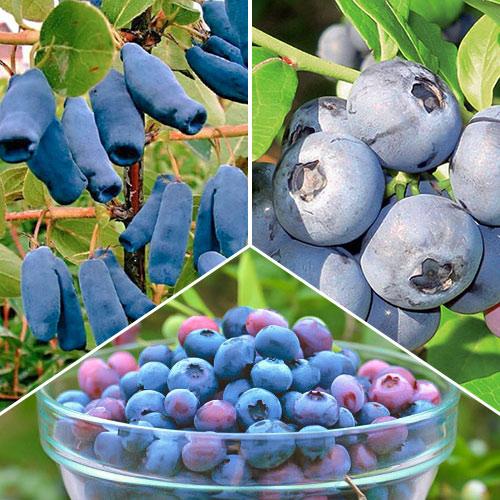 Super ofertă! Arbuști fructiferi Fructele Pădurii, set de 3 soiuri imagine 1 articol 9338