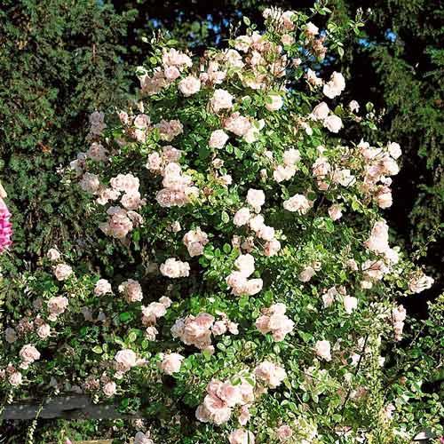 Trandafir urcător New Dawn imagine 1 articol 2172