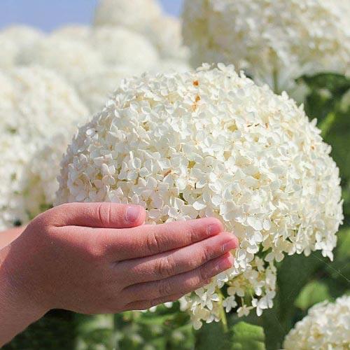 Hortensia arborescens Annabelle imagine 2 articol 9025