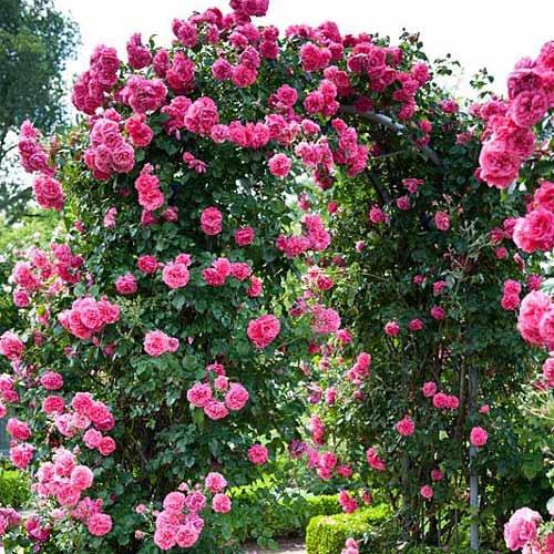 Trandafir urcător Indigoletta