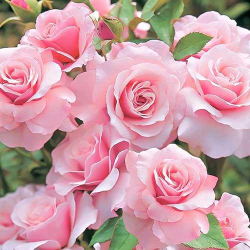 Trandafir floribunda Pink imagine 1 articol 3610