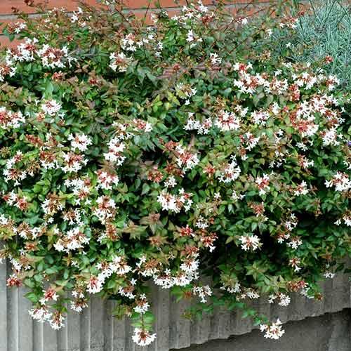 Abelia grandiflora Prostrata imagine 1 articol 4021