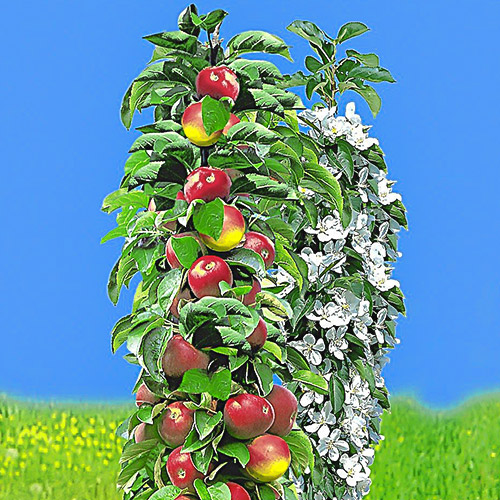 Măr columnar timpuriu