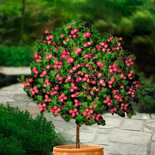 Agriș roșu pe tulpină Hinnonmaki Red imagine 1 articol 8128