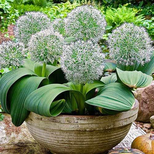 Allium Ivory Queen imagine 1 articol 67297
