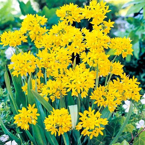Allium Moly imagine 1 articol 68121
