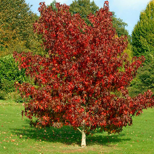 Arbore de Gumă imagine 2 articol 4005