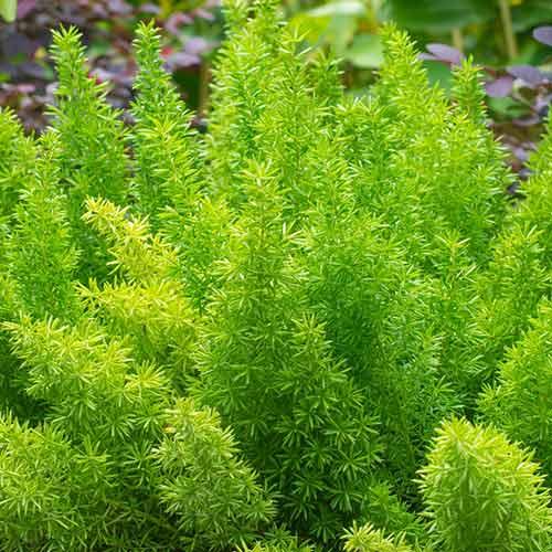 Asparagus imagine 2 articol 69556