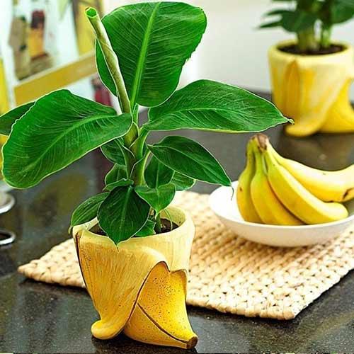 Bananier imagine 1 articol 66772