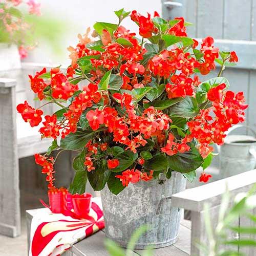 Begonie Vera F1 roșie imagine 1 articol 86788