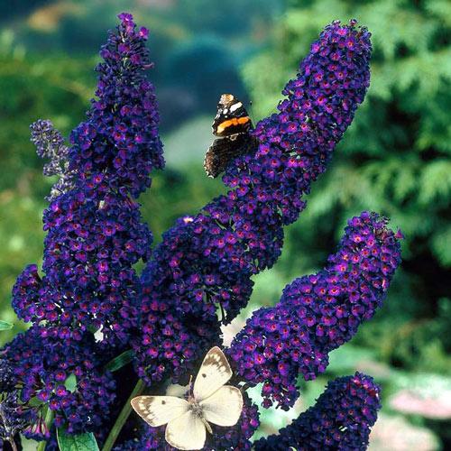 Liliac de vară  Black Knight imagine 2 articol 9172