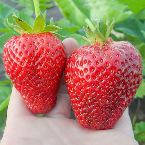 Căpșuni Alba imagine 1 articol 9800